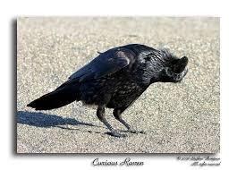 curious raven writing deskrookdebt