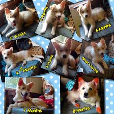 Corgi Puppy Growth Chart Lalo Puppy Growth Chart Puppy Growth Chart Shelter Dogs Dogs