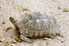 Turtle Vs Tortoise Difference And Comparison Diffen
