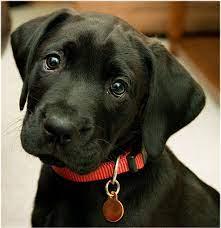 43+] Black Labrador Retriever Wallpaper ...