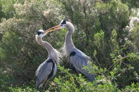 great blue heron in az facts and pictures about this wading bird pair of heron birds in arizona
