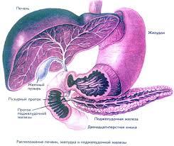 поджелудочная железа и их роль в пищеварении  Печень поджелудочная железа и их роль в пищеварении