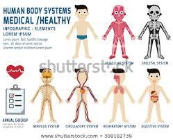 Human Body Systems Annual Checkupanatomy Body Stock Vector Royalty