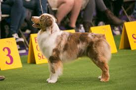 Facts On The Miniature Australian Shepherd Dog Breed