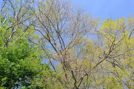 Defoliation caused by gypsy moths.