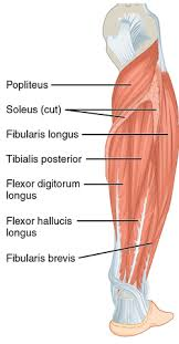 Leg Wikipedia Flexor Digitorum Longus Muscle Wikipedia