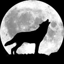 wolf howling at the moon. Beautiful Wolf The Truth Is That Wolvesu2014the Reallife Canis Lupus Varietyu2014donu0027t Howl At  The Moon Scientists Have Found No Correlation Between Canine And Earthu0027s  Throughout Wolf Howling At Moon 9
