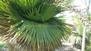 a cuban palm at the botanical garden