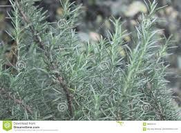 Artemisia Landscape Design Leaves Stock Image Image Of Forest Green Landscape 98050415