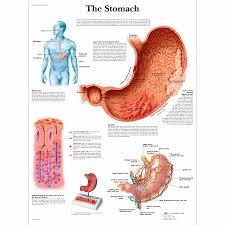 Cardiac Anatomy Chart The Stomach Chart