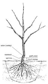Best Trees For Attracting Deer  How To Plant A Deer OrchardBest Fruit Trees For Deer