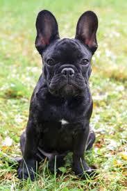 black french bulldog. Exellent French Beautiful Black French Bulldog Puppy Close Up Stock Photo  88707837 On Black Bulldog S