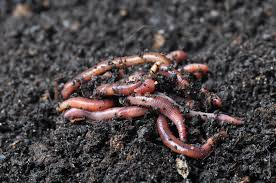 let worms do all the work worm castings are an amazing soil