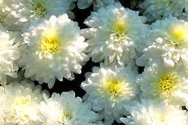 Risultati immagini per crisantemi