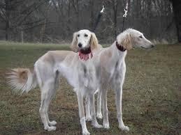 saluki dog. saluki dogs photo dog