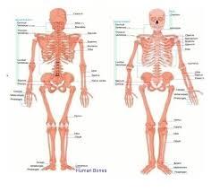 Human Bones Anatomy System Human Body Anatomy Diagram
