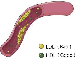 High Hdl Levels Recommendations Balance And Tips