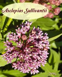 prairie milkweed is similar to common milkweed but is a slightly shorter variety and it