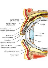 Eyelid Anatomy Blepharoplasty Eye Lift Eyelid Surgery