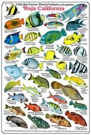Baja California Reef Fish Baja California Identification