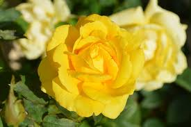 Image result for picture of yellow roses