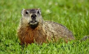 how to keep groundhogs out of my garden. Fine Keep How To Keep Groundhogs Out Of The Yard And Garden Inside To Of My W