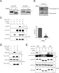 Kinesin Light Chain Antibody Phosphorylation Of Alcadein Alc Cytoplasmic Region