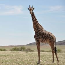 Image of: Dogs Select Options Giraffe Conservation Foundation Adopt Giraffe Giraffe Conservation Foundation