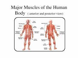 Diagram Of Human Muscular System – citybeauty.info