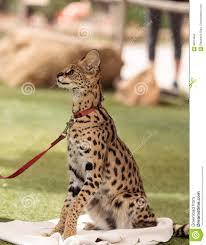 Serval Allegro Di Leptailurus Del Gatto Del Serval Fotografia Stock -  Immagine di animale, esotico: 89414842
