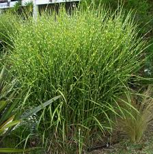 Tall Decorative Grass 1000 Images About Backyard Patio On Pinterest