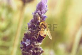 summer outdoors wallpaper. Vintage Bee On Lavender Outdoors Wallpaper Background Summer.. Stock Photo, Picture And Royalty Free Image. Image 8018288. Summer