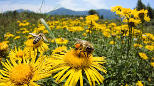 bees on yellow flowers