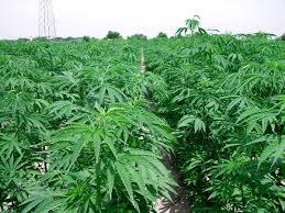 Canapa Cannabis sativa L. - Piante industriali - Coltivazioni erbacee