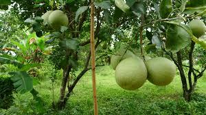 HomeGrown JaboticabaKerala Fruit Trees
