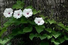 potato vine flower.  Flower Wild PotatoVine Ipomoea Pandurata Around A Tree In Potato Vine Flower O