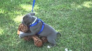 cute blue pitbull puppies. Modren Pitbull For Cute Blue Pitbull Puppies N
