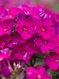 Small Picture 233 best Phlox images on Pinterest Flower gardening Beautiful