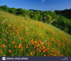 poppies and oaks in spring mount diablo state park california stock image