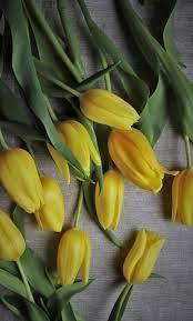 yellow tulips, flowers, fresh ...