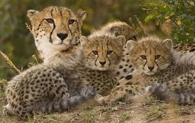 Image result for female cheetah and cub