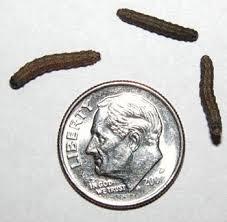 Black Cutworm Corn Dupont Pioneer