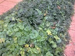 Pennywort in mondo grass