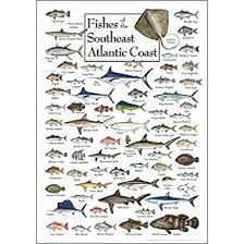 Nc Saltwater Fish Identification Chart Poster Fishes Of The Southeast Atlantic Coast