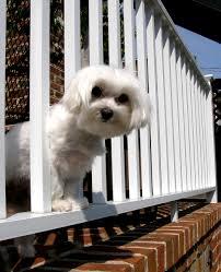 Balcony Fence dog getting through balcony rail 5387 by xevi.us