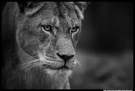 lioness black and white. Modren Lioness Lioness Black And White Study  By Dan Harrod In Lioness And O