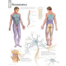 Dermatomes Chart
