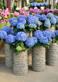 Give your garden a feel of the flower marketplaces in Japan selling  hydrangeas by using wicker