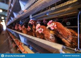 Factory Chicken Egg Production Red Chickens Are Seated In