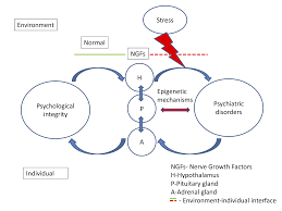 Nerve Growth Factor S Mediated Hypothalamic Pituitary Adrenal Axis